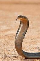 kung Kobra foto