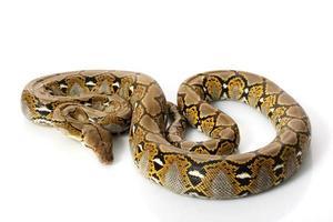retikulerad python foto