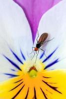 dolk flyga viola foto