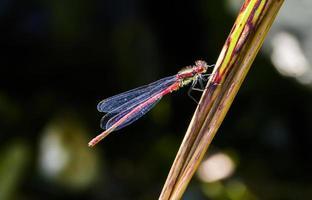 röd damsel fluga foto