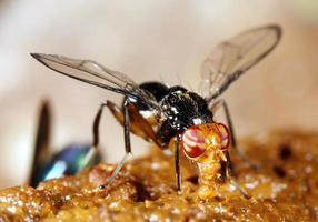utfodring av tropisk fluga foto