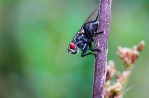 makro röda ögon fluga