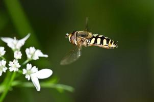 svävflugan närmar sig en blomma foto