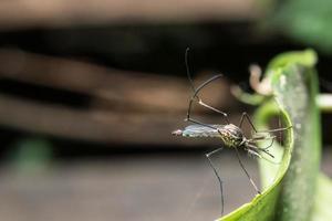 mygga på blad foto