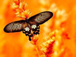 svälja tailed fjäril foto