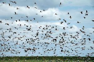 flock storkar (ciconia ciconia) foto