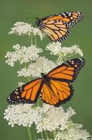 två monarker foto