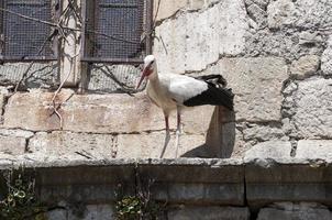 vit stork, ciconia ciconia foto