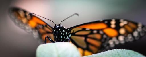 monarch danaus plexippus foto