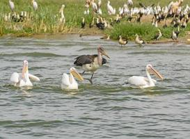 marabou stork som jagar tre stora vita pelikaner foto