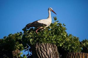 vit stork (ciconia ciconia) foto