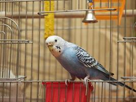 papegoja foto
