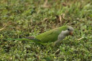 quaker papegoja foto