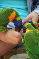 liten färgstark papegoja som äter från handen foto