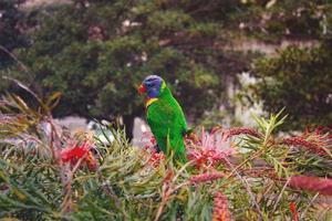 papegoja i buskarna foto