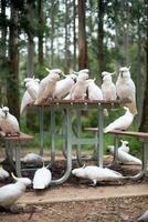 vilda vita kakaduer som sitter på ett picknickbord