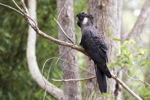 svart kakadua foto
