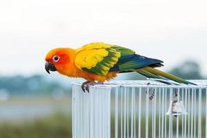 sun conure papegoja, fågel foto