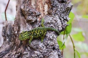 matta kameleont (furcifer lateralis lateralis) - sällsynt madagasca foto