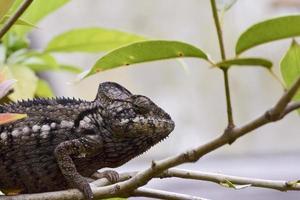 kameleon - endemisk reptil i sällsynt madagaskar foto