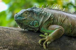 porträtt av en grön leguan