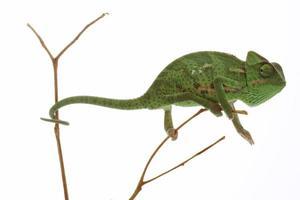 isolerad exotisk husdjurgrön kameleont foto