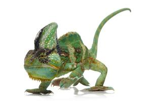 slöja kameleont med livlig färg isolerad på vitt foto