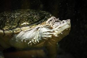 havssköldpadda foto