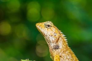 Thailand kameleont på grönt blad foto