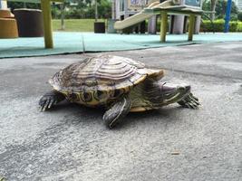 röd öronsköldpadda