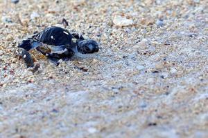 grön havssköldpaddan kläcker foto