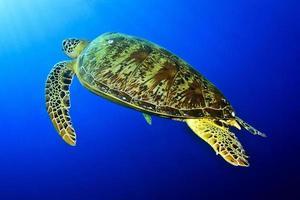 tortuga marina