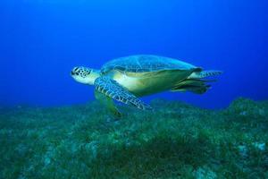 grön havssköldpadda foto