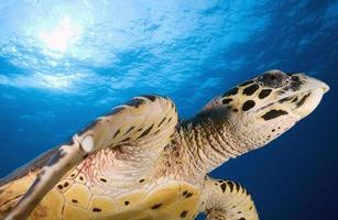 hawkbill havssköldpadda / eretmochtelys imbricata