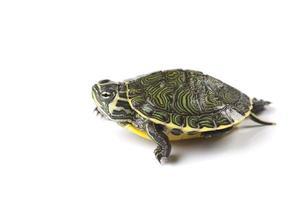 sköldpadda - isolerad på vitt foto