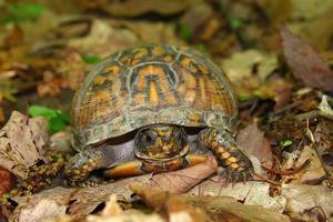 box sköldpadda (terrapene carolina) foto