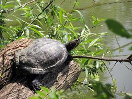 trachemys scripta elegans sköldpadda foto