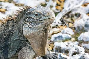 rock iguana foto