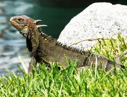 leguan reptil foto
