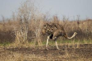 vanlig struts i Kruger nationalpark foto