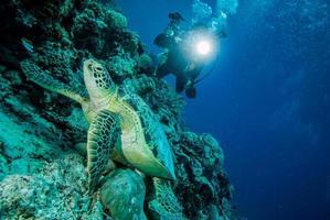 dykare och grön havssköldpadda i derawan, kalimantan, Indonesien under vattnet