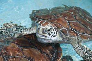 havssköldpadda nära foto