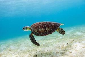 hawksbill havssköldpadda