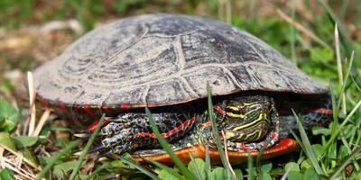 målad sköldpadda (chrysemys picta) foto