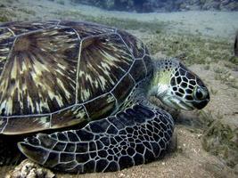 grön havssköldpadda som äter sjögräs foto