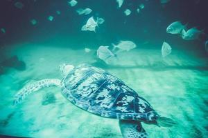 havssköldpaddor i oceanarium foto