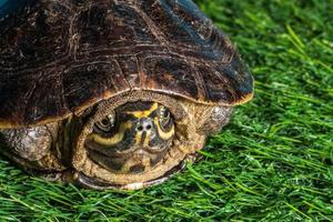 sköldpadda på grönt gräs textur bakgrund eco koncept, asien, thai foto