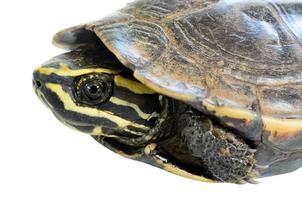 sköldpadda på vit bakgrund