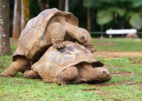 två sköldpaddor som sympatiserar varandra foto