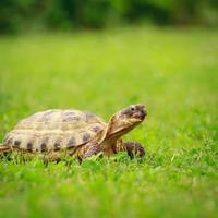 sköldpadda på ett gräs